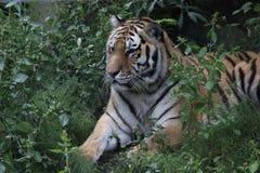Tigre siberiana (altaica del Tigri della panthera) Fotografie Stock Libere da Diritti