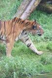 Tigre siberiana - altaica del Tigri della panthera Fotografia Stock