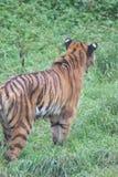 Tigre siberiana - altaica del Tigri della panthera Fotografia Stock Libera da Diritti