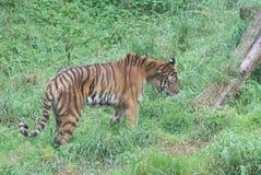 Tigre siberiana - altaica del Tigri della panthera Immagine Stock Libera da Diritti