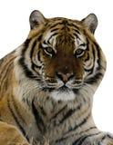 Tigre siberiana, altaica del Tigri della panthera Fotografia Stock Libera da Diritti