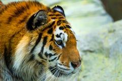 Tigre siberiana, altaica del Tigri della panthera, anche conosciuto come la tigre dell'Amur fotografie stock