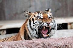 Tigre siberiana (altaica del Tigri della panthera) che mostra i denti Immagine Stock