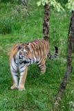 Tigre siberiana (altaica del Tigri della panthera) o tigre dell'Amur Immagine Stock