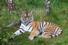 Tigre siberiana (altaica del Tigri della panthera) o tigre dell'Amur Fotografie Stock Libere da Diritti