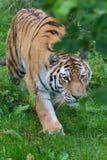 Tigre siberiana (altaica del Tigri della panthera) o tigre dell'Amur Fotografia Stock Libera da Diritti