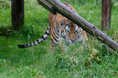 Tigre siberiana (altaica del Tigri della panthera) o tigre dell'Amur Fotografie Stock
