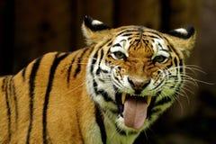 Tigre siberiana (altaica del tigris del Panthera) Fotografie Stock Libere da Diritti