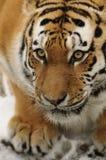Tigre siberiana (altaica del tigris del Panthera) Immagine Stock