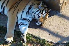 Tigre siberiana che dorme nella tonalità fotografie stock libere da diritti