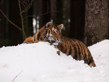 Tigre siberiana che ha resto in natura selvaggia di inverno - altaica del Tigri della panthera Fotografie Stock Libere da Diritti
