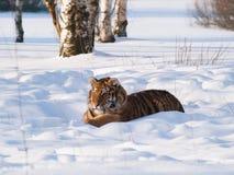Tigre siberiana che si trova sulla neve in foresta - altaica del Tigri della panthera Fotografia Stock