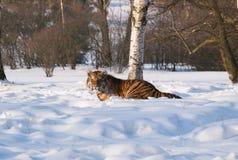 Tigre siberiana che si trova sulla neve in foresta - altaica del Tigri della panthera Fotografia Stock Libera da Diritti