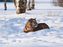 Tigre siberiana che si trova sulla neve in foresta - altaica del Tigri della panthera Immagine Stock