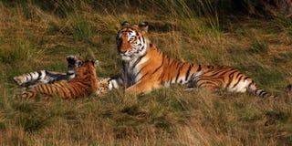 Tigre siberiana con i cubs Fotografie Stock Libere da Diritti