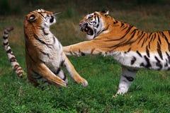 Tigre siberiana d'inscatolamento Fotografia Stock