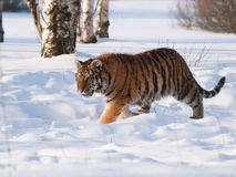 Tigre siberiana di camminata in natura selvaggia di inverno - altaica del Tigri della panthera Fotografia Stock Libera da Diritti