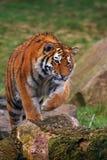 Tigre siberiana di strisciamento Immagini Stock