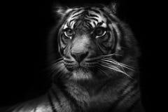 Tigre siberiana maschio in bianco e nero che fissa ferocemente fotografia stock