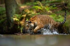 Tigre siberiana nel fiume della foresta con la spruzzatura dell'acqua Animale aggressivo in habitat naturale Panthera Tigris Alta fotografie stock libere da diritti