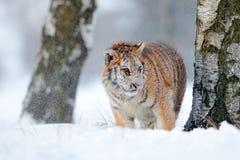 Tigre siberiana nella caduta della neve Funzionamento della tigre dell'Amur nella neve Tigre in natura selvaggia di inverno Scena Fotografia Stock