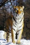 Tigre siberiana in neve Immagini Stock Libere da Diritti
