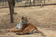 Tigre siberiana (nome scientifico: Altaica del Tigri della panthera) Immagini Stock