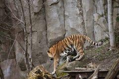 Tigre siberiana o ove di camminata di altaica del Tigri della panthera della tigre dell'Amur Fotografia Stock Libera da Diritti