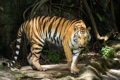 Tigre siberiana o tigre dell'Amur (altaica del Tigri della panthera) Immagine Stock Libera da Diritti