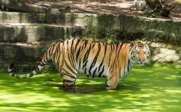 Tigre siberiana o tigre dell'Amur (altaica del Tigri della panthera) Immagini Stock Libere da Diritti