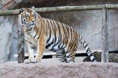 Tigre siberiana pronta ad attaccare esame voi Fotografia Stock