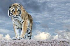 Tigre siberiana pronta ad attaccare esame voi Immagine Stock