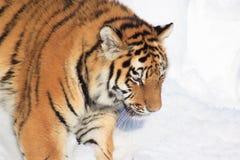 Tigre siberiana selvaggia su una passeggiata di mattina fotografia stock