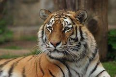 Tigre siberiana, tigre del Amur fotografie stock