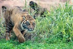 Tigre siberiana, tigre del Amur immagine stock