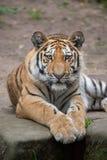 Tigre siberiana & x28; Altaica& x29 del Tigri della panthera; Immagine Stock