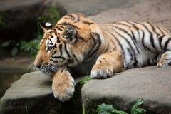 Tigre siberiana & x28; Altaica& x29 del Tigri della panthera; Immagini Stock Libere da Diritti
