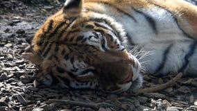 Tigre siberiano almacen de metraje de vídeo