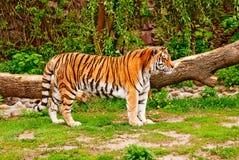 Tigre siberiano Imagen de archivo libre de regalías