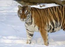 Tigre siberiano Fotos de archivo libres de regalías