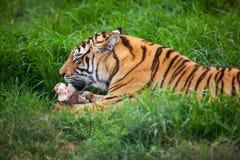 Tigre siberiano. Foto de archivo