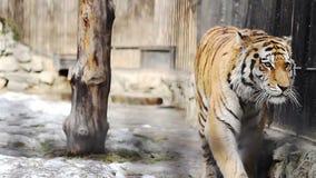 Tigre siberiano almacen de video