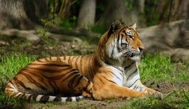 Tigre siberiano Fotografía de archivo libre de regalías