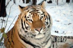 Tigre siberiano (altaica de tigris del Panthera) Foto de archivo libre de regalías