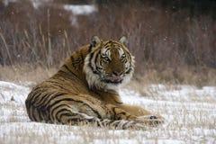 Tigre siberiano, altaica del Tigris del Panthera Foto de archivo