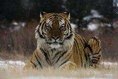 Tigre siberiano, altaica del Tigris del Panthera Imagen de archivo libre de regalías