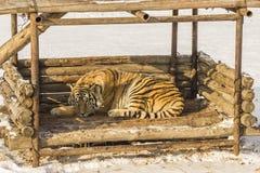 Tigre siberiano el dormir en Harbin China Fotos de archivo