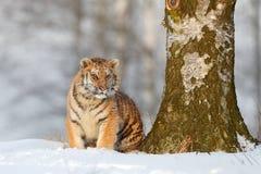 Tigre siberiano en caída de la nieve, árbol de abedul Tigre de Amur que se sienta en nieve Tigre en naturaleza salvaje del invier Fotos de archivo