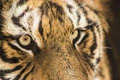 Tigre siberiano en Harbin China Imagenes de archivo