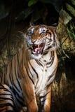 Tigre siberiano en la acción del gruñido Fotos de archivo libres de regalías